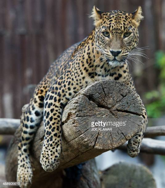 A Sri Lankan leopard rests in its enclosure at Bratislava's Zoo on November 13 2014 AFP PHOTO/JOE KLAMAR