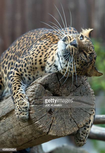 A Sri Lankan leopard stretches in its enclosure at Bratislava's Zoo on November 13 2014 AFP PHOTO/JOE KLAMAR