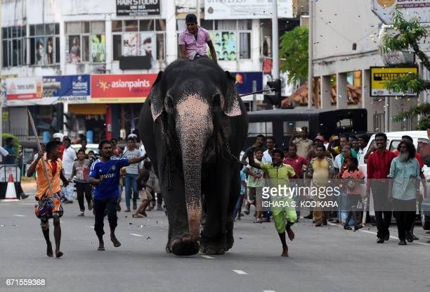 Sri Lankan mahouts ride elephants past spectators in Colombo on April 22 2017 as part of traditional festival games held to celebrate to mark the...