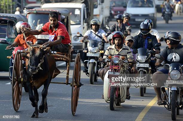 A Sri Lankan participant controls bull amid traffic during a traditional cart race in Piliyandala near Colombo on April 18 2015 to mark the Sinhala...