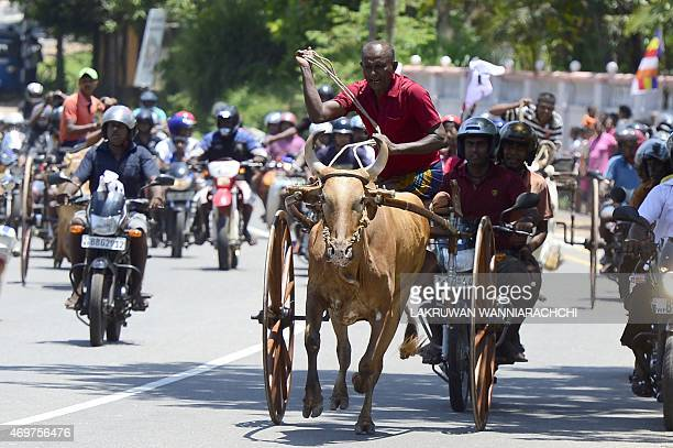 Sri Lankan participants control their bulls during a traditional cart race in Kaduwela near Colombo on April 15held to mark the Sinhala and Tamil New...