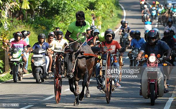 Sri Lankan participants control their bulls during a traditional cart race in Dompe near Colombo on April 15 held to mark the Sinhala and Tamil New...