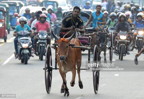 Sri Lankan participants control their bulls during a traditional cart race to mark the Sri Lanka National New Year in Homagama near Colombo on April...