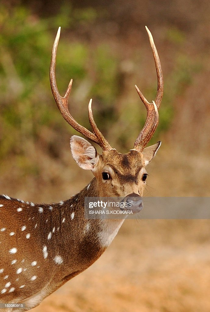 A Sri Lankan spotted deer searches for food in the Yala National Park in the southern district of Yala around 250 kms southwest of Colombo on...