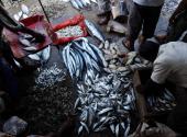 SriLankaenvironmentfishing FEATURE by Mel Gunasekera This photo taken on August 19 2010 shows a Sri Lankan vendor arranging his stock at a fish...