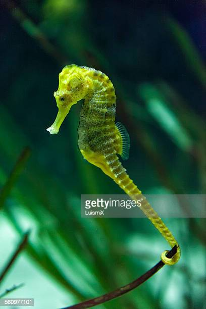 SSeahorse is fastened with its tail