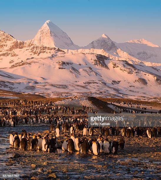 St Andrews Bay with a King Penguin Colony at Sunrise