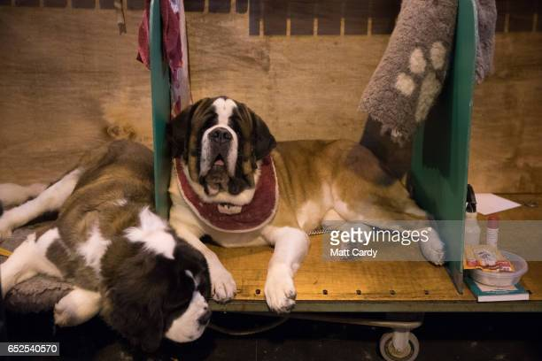 St Bernard dog sits in its bench on the final day of the Crufts Dog Show at the NEC Arena on March 12 2017 in Birmingham England First held in 1891...
