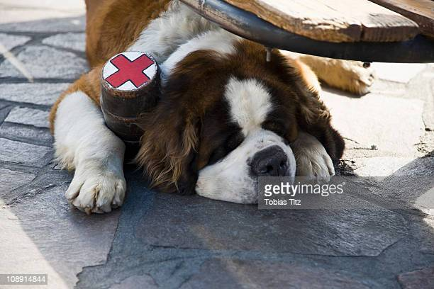 A St. Bernard dog with a flask collar lying on the ground