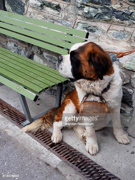 St. Bernard rescue dog