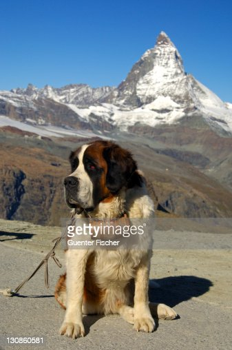 St. Bernhard dog and the Matterhorn, Gornergrat, Zermatt Valais Switzerland : Stock Photo