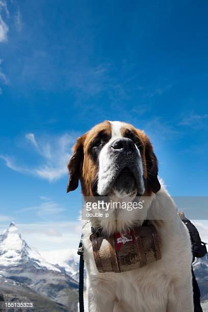 st bernhard dog