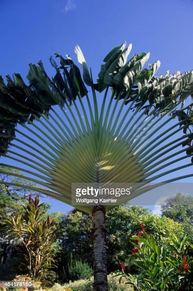 St Kitts Caribelle Batik Studios Garden Traveler's Tree Banana Family