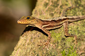 A close up of a St. Lucia Anole in the tropical rain forest