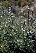 Stachys heraclea in bloom Lamiaceae