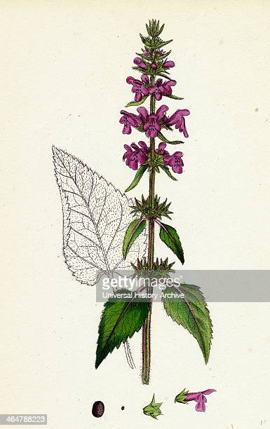 Stachys sylvatica Hedge Woundwort
