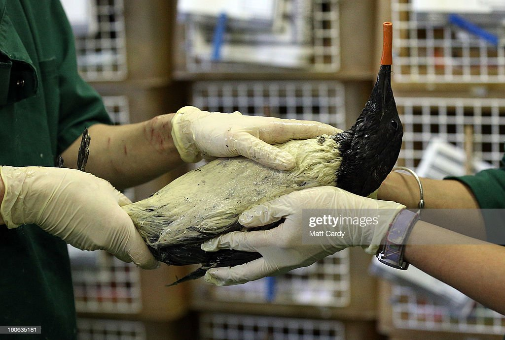 Staff at the RSPCA West Hatch Wildlife Centre rub margarine into the feathers to help clean a stricken guillemot bird that has been covered in a unknown pollutant on February 4, 2013 near Taunton, England. The centre in Somerset is currently dealing with over 300 birds, mostly guillemots and some razorbills, that have been washed up all along the south coast of England covered in a yet-to-be indentified oil substance. Conservationists are warning it could be days before the true scale of the pollution spill affecting the sea birds is known as many more birds covered in the mystery sticky substance could have been blown out to sea by prevailing winds, leading to many more fatalities as they are unable to feed and become cold and exhausted.