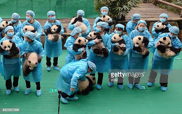 Staff carrying 23 giant panda cubs gather to pose for photos as they send wishes for the Chinese New Year at the Chengdu Research Base of Giant Panda...