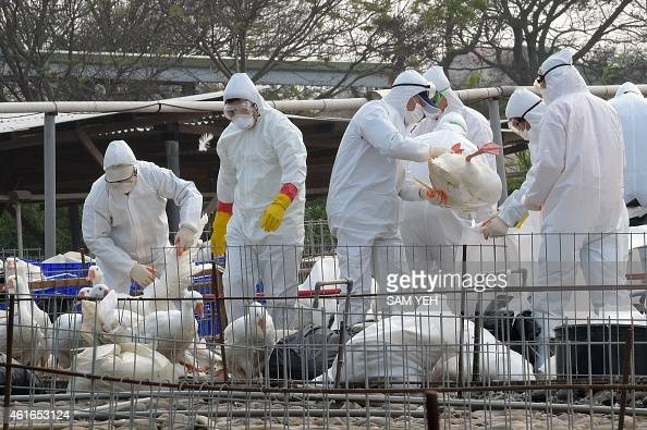 Staff from the Animal Disease Control Center put geese into plastic bags as they cull the birds to help prevent the spread of avian flu in the...