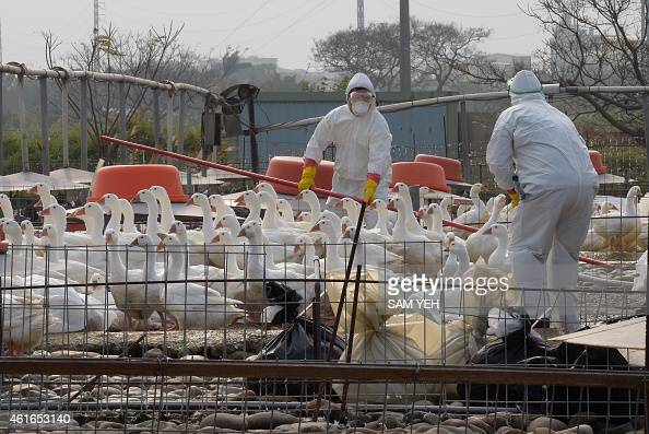Staff from the Animal Disease Control Center use sticks to gather birds at a geese farm as they work to help prevent the spread of avian flu in the...