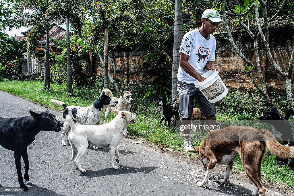 A staff member at Bali Animal Welfare Association (BAWA) feeds stray dogs during a street feeding program on March 15, 2013 in Ubud, Bali, Indonesia. According to data from the Bali Animal Welfare Association (BAWA), the dog population in Bali is approximately 600,000. Many are reported to suffer from malnourishment and poor health.
