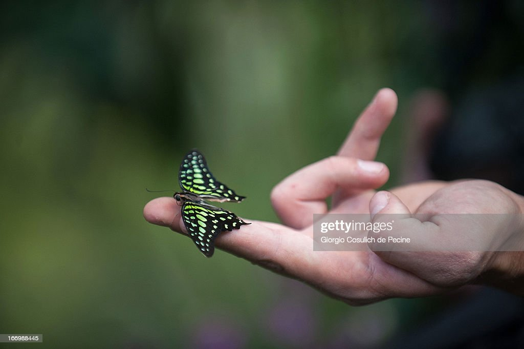 A staff member holds a butterfly during the opening of the new butterfly and insect section at the Bioparco on April 19, 2013 in Rome, Italy. A new greenhouse measuring 80 square metres will be unveiled at the capital's famous zoological gardens, where visitors will be able to walk amongst tropical butterfiles and a variety of insects.