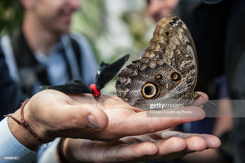 A staff member holds a couple of butterflies during the opening of the new insects section at the Bioparco on April 19, 2013 in Rome, Italy. A new greenhouse measuring 80 square metres will be unveiled at the capital's famous zoological gardens, where visitors will be able to walk amongst tropical butterflies and a variety of insects.