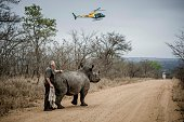Staff members helps a rhino after it is sedated on October 16 2014 in the Kruger National Park South Africa SANParks staff members moved rhinos from...