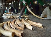 Staff members of the Kenya Wildlife Services do the inventory of illegal elephant ivory stockpiles at the KWS headquarters in Nairobi on July 21 2015...