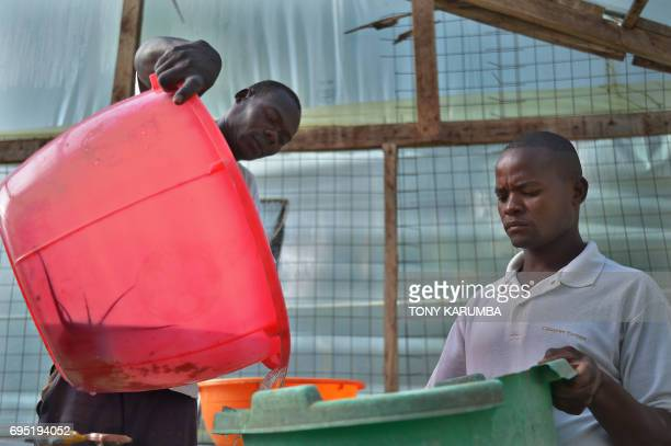 Staff members prepare a fertile female catfish for egg extraction at Jafi Enterprise fish farm on April 24 Lurambi Kakamega County western Kenya This...