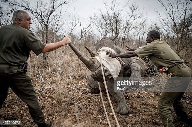 Staff members pull a rhino after it is sedated on October 16 2014 in the Kruger National Park South Africa SANParks staff members moved rhinos from...