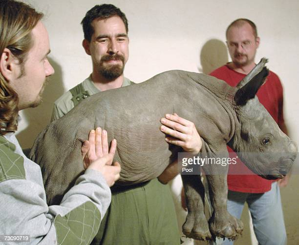 Staff of the Budapest Zoo Peter Czifra Matyas Liptovszky and Arpad Kover hold a newborn southern white rhinoceros calf on January 24 2007 in Budapest...