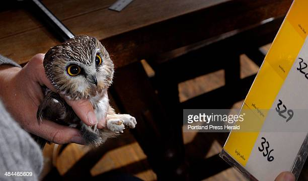 Wednesday October 16 2007 A Northern Sawwhet owl netted in the annual banding program is held by wildlife biologist Judy Camuso after the native...