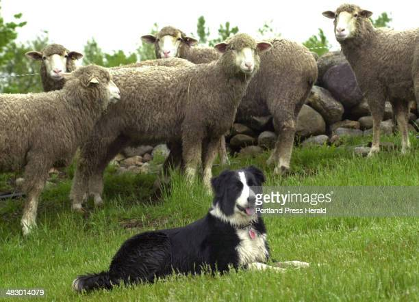 Staff Photo by John Patriquin Wednesday May 26 2004 Tess is a two year old border collie that is owned and worked by sheep farmer John Simmons on his...