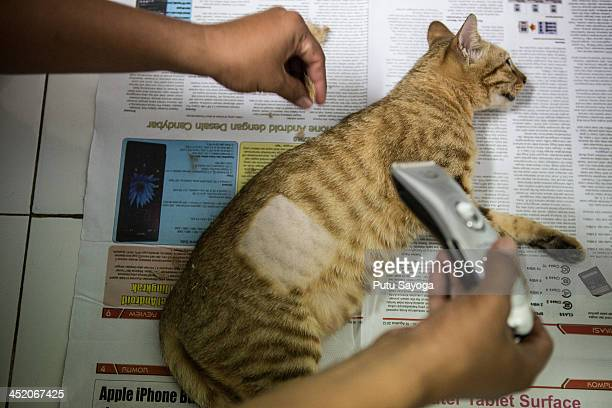 A staff worker shaves a cat during sterilisation at Villa Kitty on November 26 2013 in Ubud Bali Indonesia Villa Kitty established on March 17 2011...