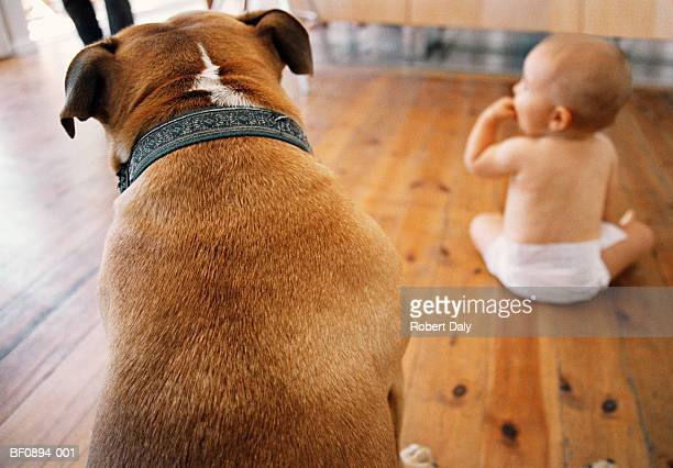 Staffordshire Bull Terrier and baby girl (9-12 months) (focus on dog)