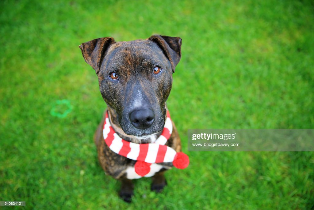 Staffordshire Bull Terrier Cross with scarf