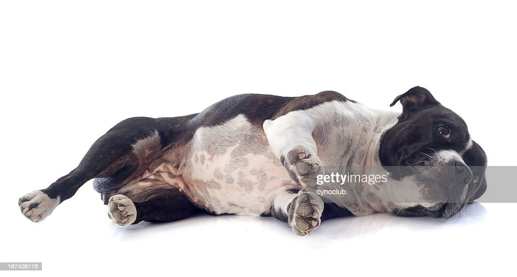 staffordshire bull terrier laid down : Stock Photo