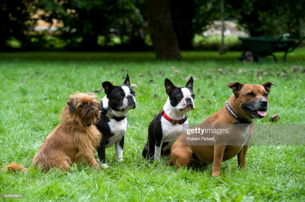 Staffordshire Bull Terrier, pair of Boston Terriers & Griffon Bruxellois / Griffon Belge, sitting together in garden, UK