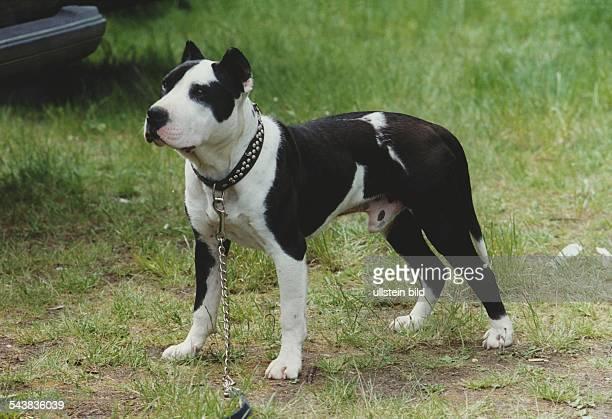 Staffordshire Bullterrier an der Leine Aufgenommen um 2000