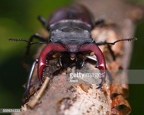 Stag beetle en face : Stock Photo