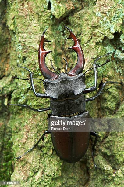 Stag beetle -Lucanus cervus-, male, Diersfordter Wald, North Rhine-Westphalia, Germany