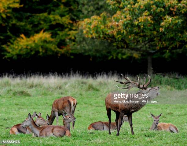 A stag bellows as the autumn rutting season has begun at Studley Royal Deer Park Ripon