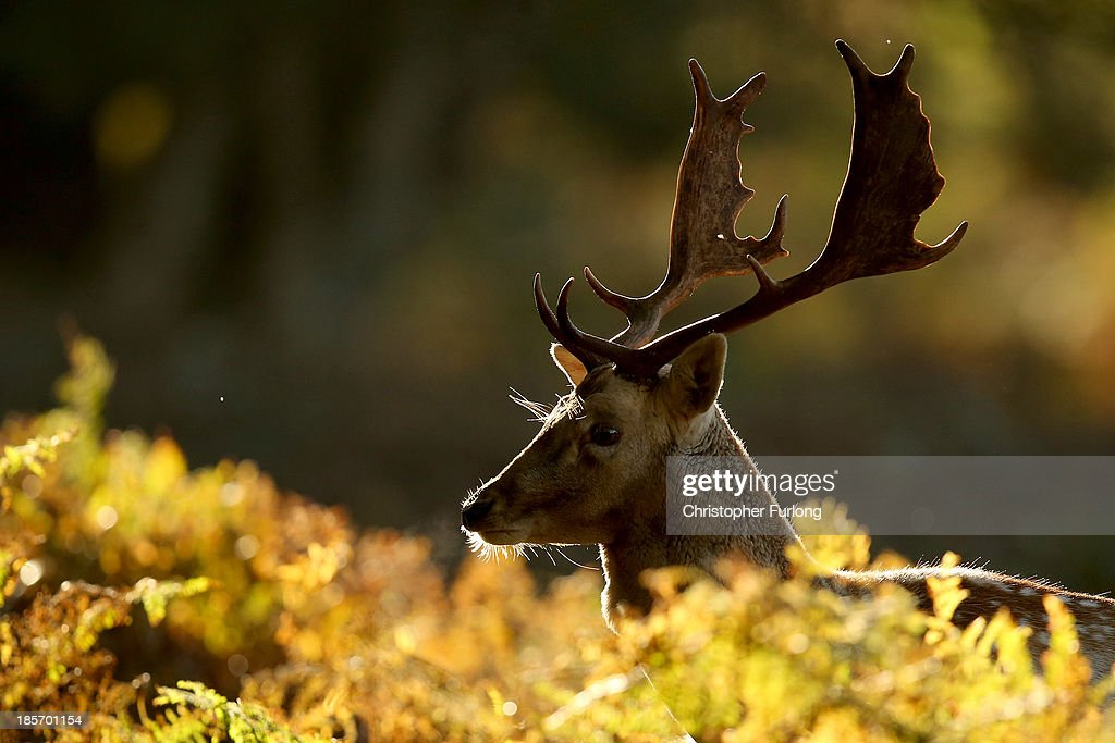 A stag deer forages amongst the autumnal bracken at the National Trust's Dunham Massey park on October 24, 2013 in Altrincham, United Kingdom. The mild weather in the United Kingdom has delayed Autumn by up to two weeks according to statistics by The Woodland Trust. As cooler temperatures arrive the UK is beginning to glow with Autumn colours.