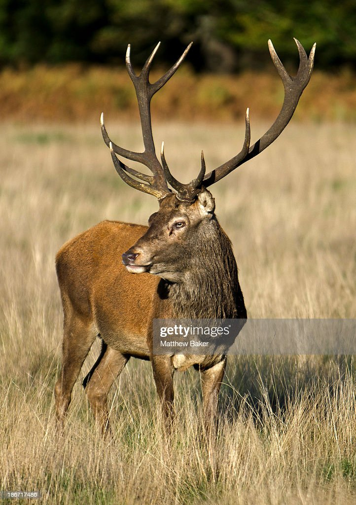 A stag during rutting season at Richmond Park on November 3, 2013 in London, England.
