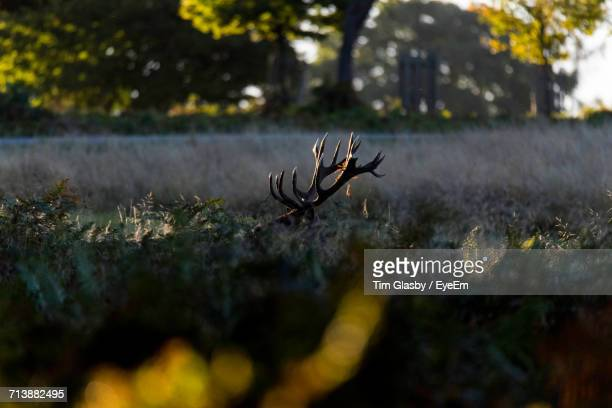 Stag In The Wild