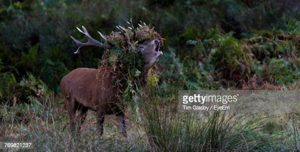 Stag On Field In Forest