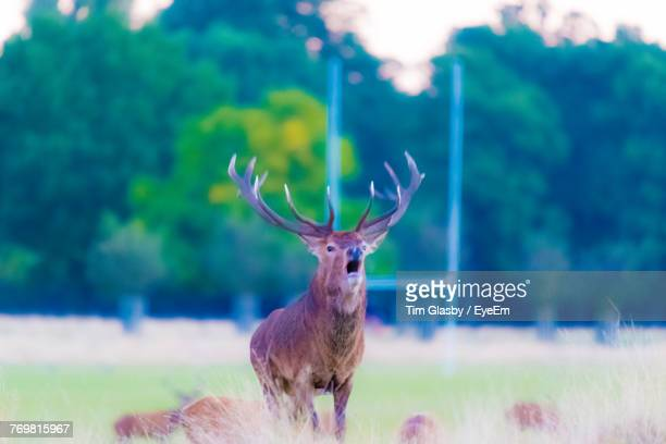 Stag Standing On Field