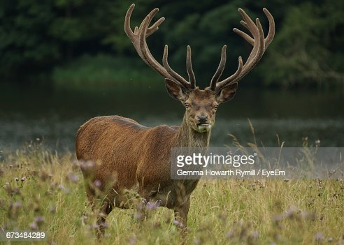 Stag Standing On Grassy Field By Lake