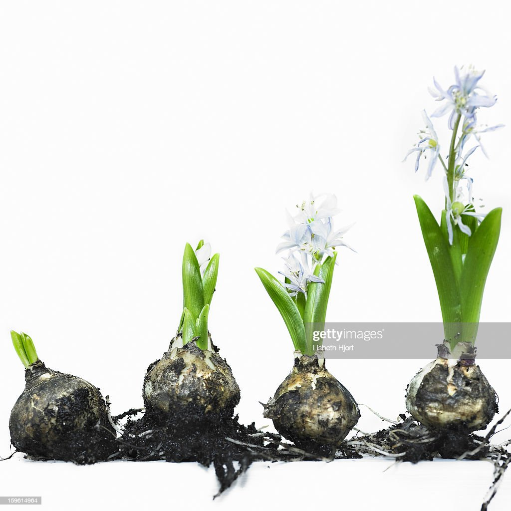 Stages of bulb growth to flower : Stock Photo
